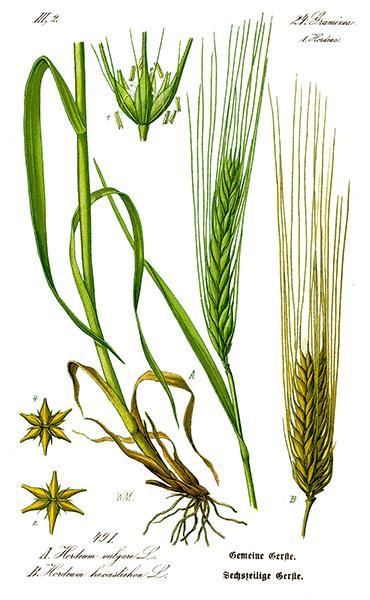 Variedad de cebada Hordeum Vulgare